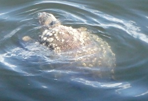 Turtle off the port bow.