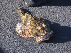An Irish lord fish…so ugly it's cute!