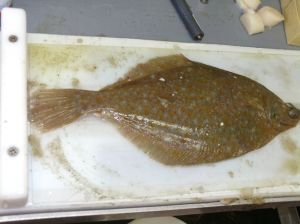 Yellow Tale Flounder Being Measured