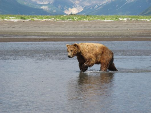 Brown bear in search of salmon