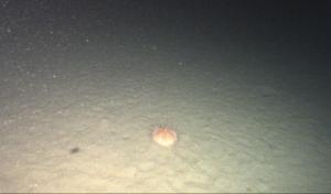 Sea urchin in color.