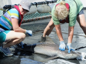 Amy and I work together to process an adolescent Tiger Shark. Amy and I often worked together and truly enjoyed our time together.