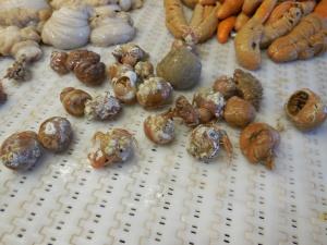 Hermit Crabs (Arthropods) Inhabiting the Shells of Mollusks