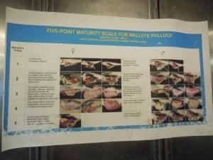 Identifying Pollock Sex and Maturity