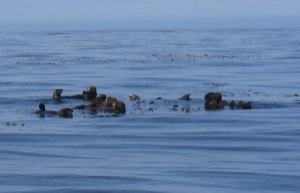 Sea otters drifting amidst the kelp