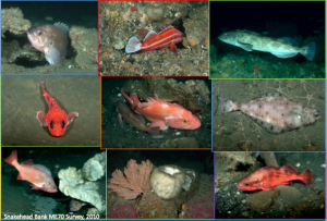 Species that are part of the groundfish survey.