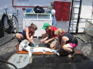 Measuring a Scalloped Hammerhead.