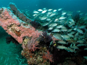 A underwater photograph of the City of Houston shipwreck. Over time the ribs of the ship's hull have been covered by sponges (pink fluff) and soft coral (colorful branches). Tomtate fish are pictured to the right.