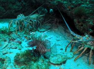 A lionfish and two lobsters pose for the camera at Lobster Rock. Today the divers collected a total of 23 lionfish from this dive site.