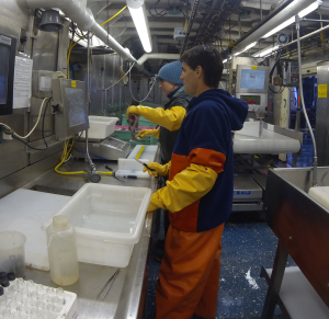 Jodi weighs and measures the pollock.  Darin removes otoliths and I packaged them up