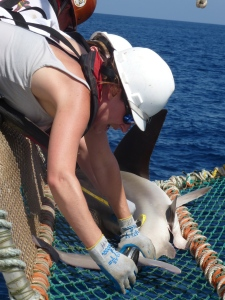 Kristin Hannan measuring a Sandbar Shark in the cradle.