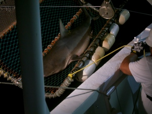 Bull Shark! 232 pounds!