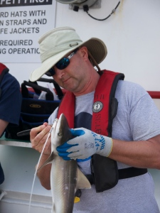 Volunteer Arjen Krigsman works on a Sharpnose on his birthday!