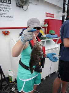 A black sea bass makes a guest appearance in one of the final hauls on the Oregon II's first leg.