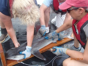 tagging Tiger Shark