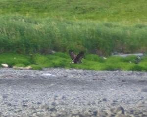 An immature Bald Eagle (Haliaeetus leucocephalus) taking flight
