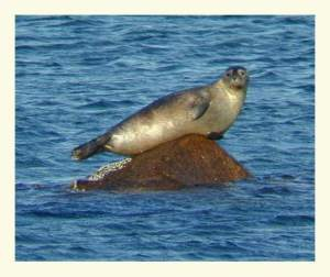 A harbor seal (Phoca vitulina) on a rock.