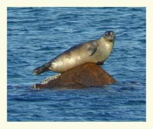 A harbor seal (Phoca vitulina) on a rock.