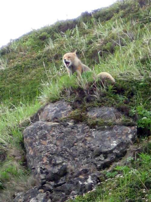 This could be an arctic fox, and as we watched, it continued to howl in a voice I have never heard before. I still have goosebumps from the sound!