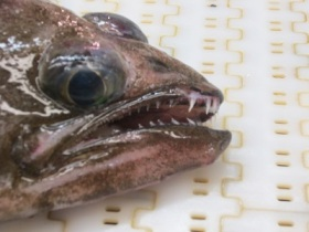 Arrowtooth Flounder