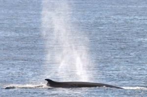 Breathing fin whales
