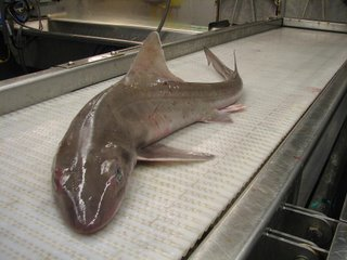 This is a dogfish. It is a relative of the shark, but without all those ferocious teeth. So many people have asked me if I have seen a shark, I had to put these photos up for you!
