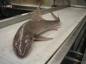 Run, it's the dogfish!
