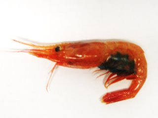 This is a shrimp close up. Can you guess what the blue mass is under her back end? Post your answers to the blog.