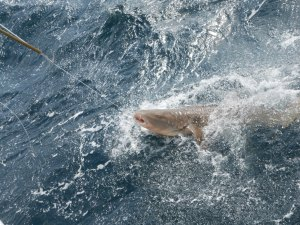 Nurse Shark on the line