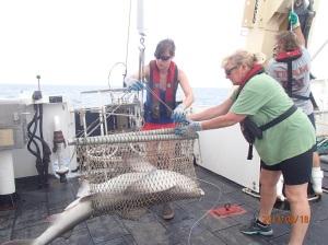 Weighing a shark