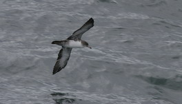 Pinkfooted Shearwater