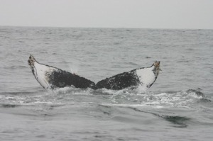Humpback Fluke – white and black