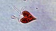 Isn't this a great looking microzooplankton, can you see how it moves?