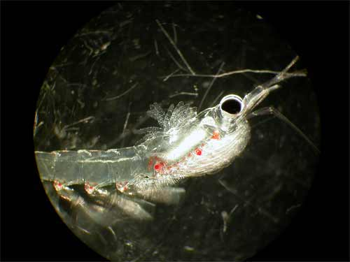 This krill has a parasite attached, can you find the parasite?