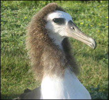 "One of the many ""hair-dos"" of the Laysan Albatross chicks. We call this one the Abe Lincoln."