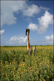 An old Coast Guard anchor sits deep within the Verbesina, a bright yellow flowering plant in the sunflower family that is an exotic, invasive plant on many of the atolls.