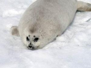 A baby spotted seal, aka furry bundle with very sharp teeth.