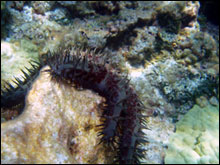 The crown of thorns (Acanthaster planci) is a major predator of coral reefs.