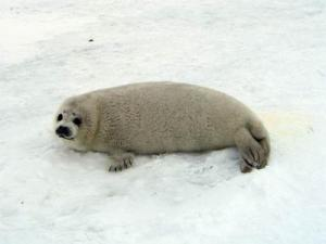 During the first few weeks after weaning, pups seem to spend most of their time on the ice, but they do not enter the water.