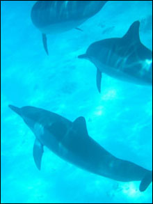 Dolphins from the large Kure Atoll pod.
