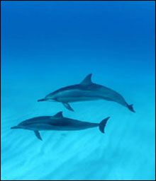 Majestic Hawaiian spinner dolphins in the clear lagoon waters of Kure Atoll, State Wildlife Refuge.