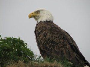 eagle-727518