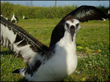 A Laysan Albatross fledgling practices how to take flight