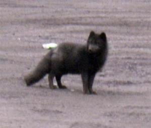 Wild arctic foxes are often seen on St. Paul.