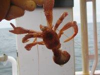 h-crab-706029