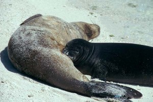 monk seal and baby