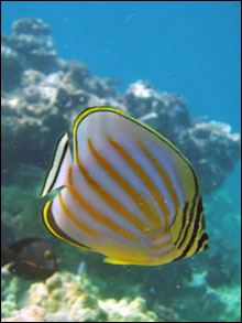 The ornate butterflyfish (Chaetodon ornatissimus) is one type of butterflyfish that is also a coral predator.