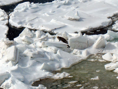 Spotted seals are found by ridges and waffles on the ice. They are often hiding. Can you spot the spotted seal?