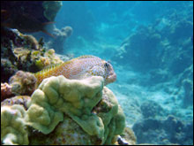 The shortbodied blenny (Exallias brevis) is an obligate corallivore, which feeds on coral.