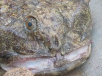 Smile! Here are big mouth sculpins. Once close up and one in the hands of Dr. Mikhail Stepanenko.
